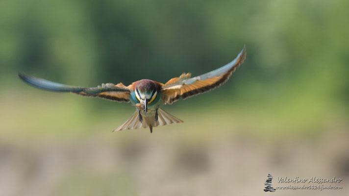 Il cacciatore arcobaleno (Gruccione, Parco Adda sud)