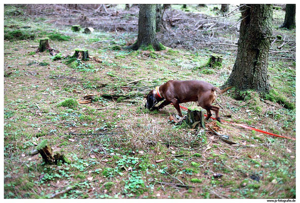 Der Hund nimmt zielstrebig die Wundfährte an.