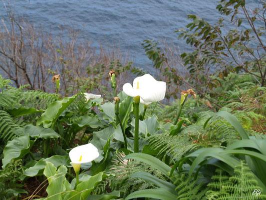Eine Calla, die man hier überall wild blühen sieht, die übrigens auf Madeira als Hochzeitsblumen verwendet werden