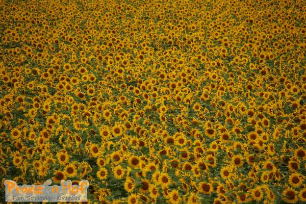 Sonnenblumenfeld Juli 2017