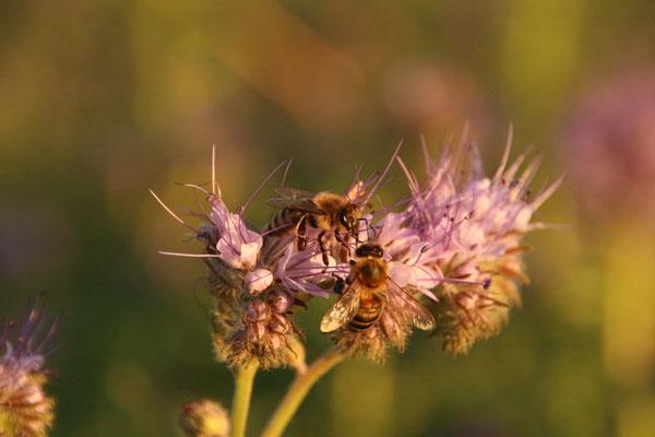 Bienen auf Phacelia/Zwischenfrucht Ende September