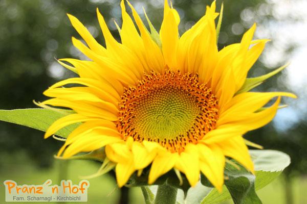 Sonnenblume - Juli 2017