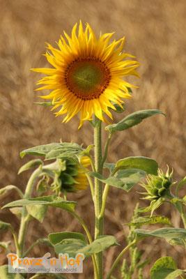 Sonnenblume - Anfang Juli 2018