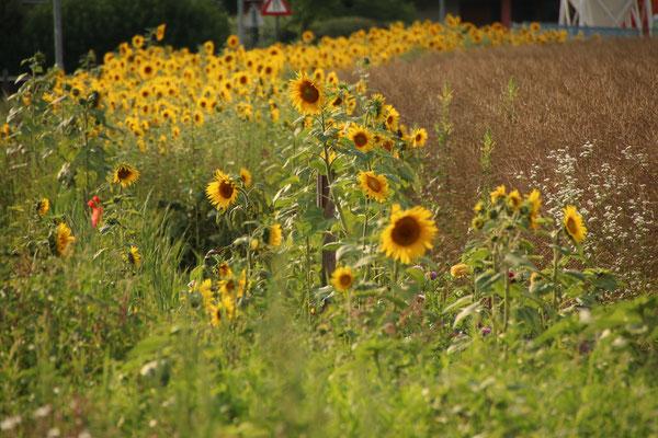 Sonnenblumen Juli 2018