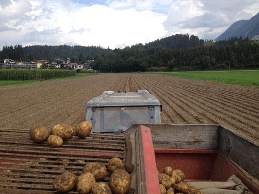 Kartoffelernte August 2016