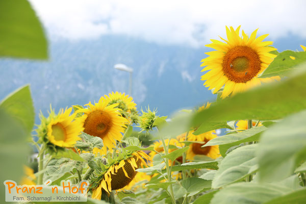 Sonnenblumen Juli 2017