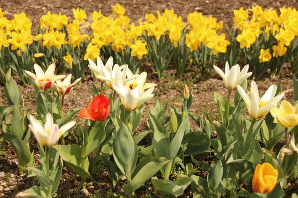 Tulpen und Narzissen April 2019