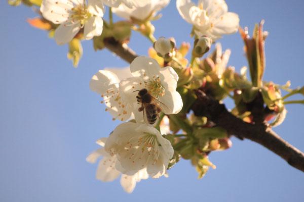 Biene auf einer Apfelblüte