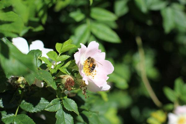 Biene auf einer Blüte der Buschrose