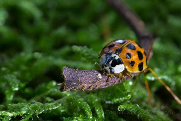 Ein Marienkäfer geniesst auf einem kleinen Ästchen die letzten wärmenden Sonnenstrahlen   -M9-