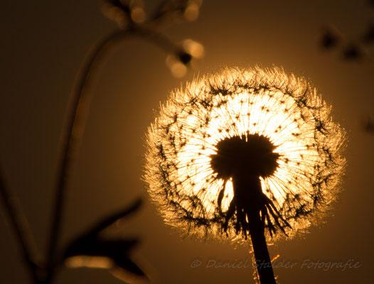 Der Sonnenuntergang durch die Blume   -M3-