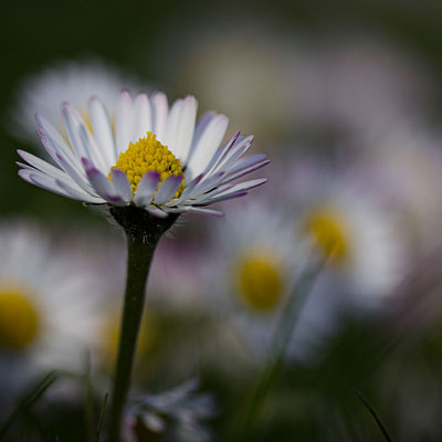 Gänseblümchen   -M2-