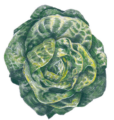 illustration d'une salade, crayon de couleur