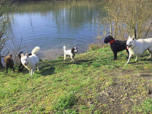Wir treffen zwei Schäferhunde und einen Riesenschnauzer, alle verstehen sich prächtig und haben gemeinsam viel Spass