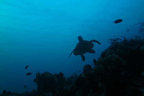 Green Sea Turtle South Sulawesi Tidak Apa'Pa Liveaboard CCR Diving