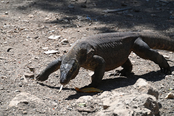 Getting the latest news - Varanus komodoensis