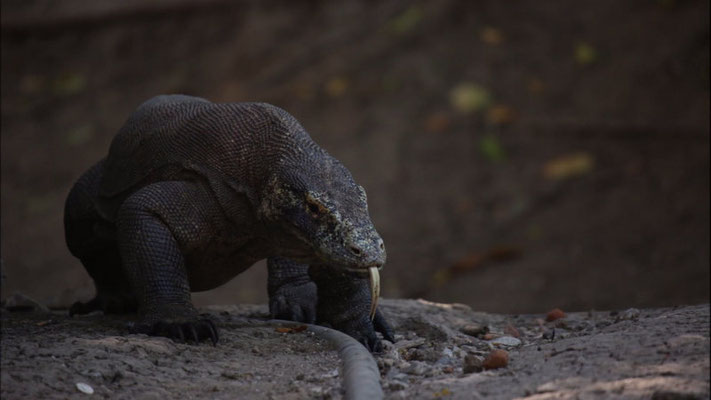 Going around the Rinca station - Varanus komodoensis