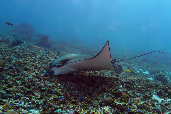 Eagle Ray - Aetobatys sp.