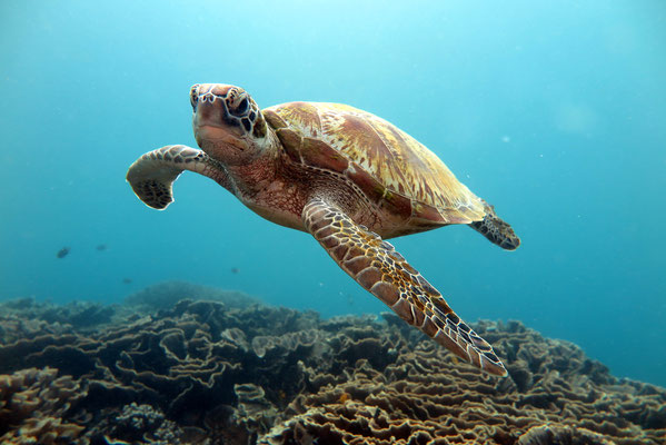 Green Sea Turtle - Chelonia mydas