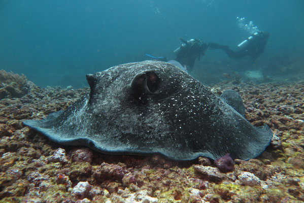 White-Tail Stingray - Himantura granulata