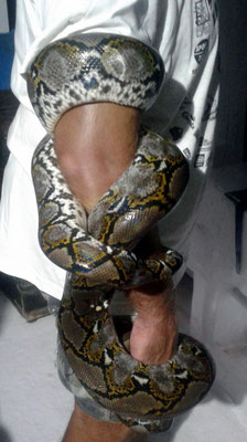 Reticulate Python Sangeang