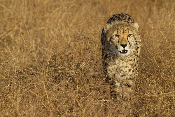 Cheetah - KP Selzer