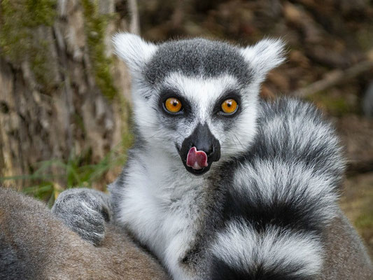 Lemur - Melanie Messer
