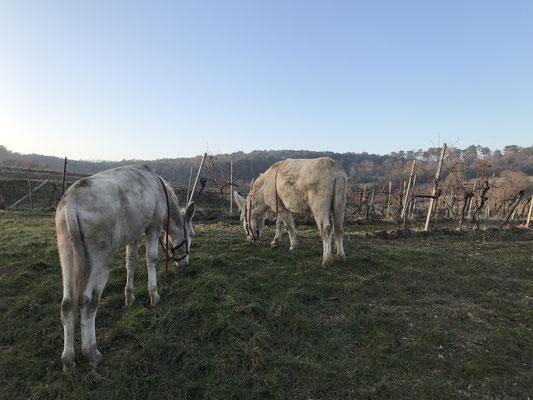 Im Winter steht immer noch etwas Gras vor dem Weingarten, von dem die Esel gerne naschen.