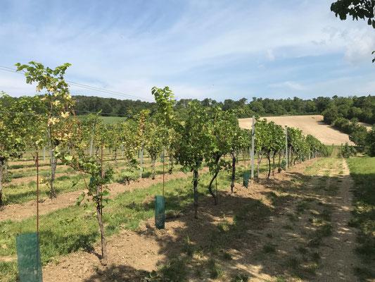 August 2021: der Weingarten ist fertig renoviert. Ernte in ein paar Wochen.