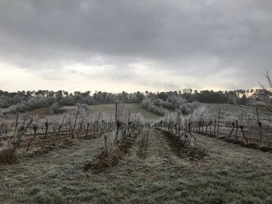 Weingarten nach einer frostigen Nacht