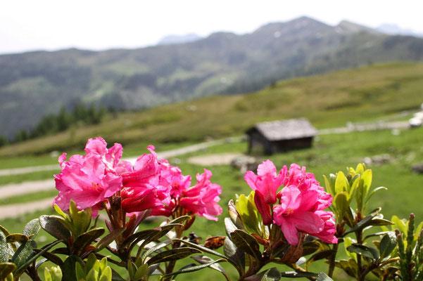 Almrosenblüte auf der Kaaralm in Großarl