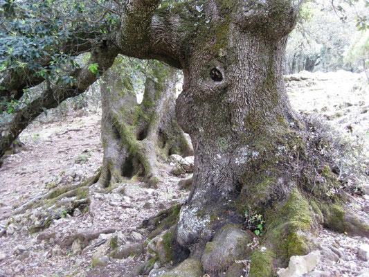 Die berühmten Korkeichen, die auf Sardinien wachsen