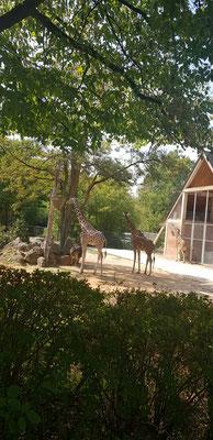 Giraffe im Nürnberger Tiergarten
