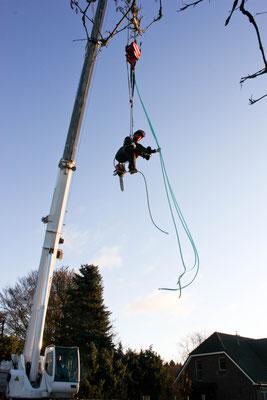 Baumpflege mittels Seilklettertechnik und Kran