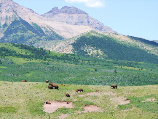 Herd of buffalo grazing in Waterton Lakes National Park, © Laurie Shannon