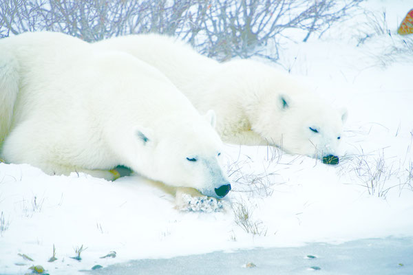 Polar Bears by Tundra Buggy – Frontiers North, Churchhill © Canadian Tourism Commission