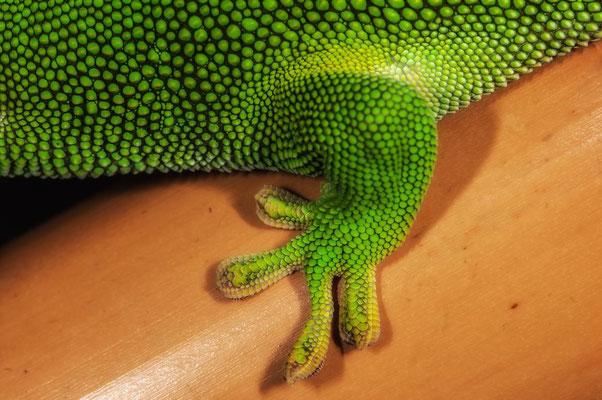 Phelsuma grandis2 - Gecko