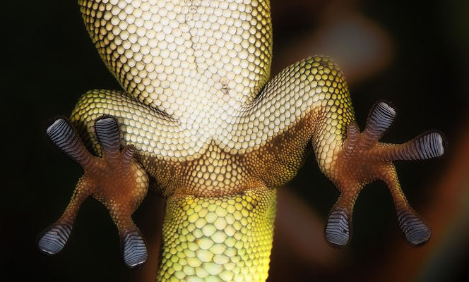 Phelsuma grandis5 - Gecko