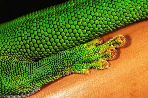 Phelsuma grandis3 - Gecko