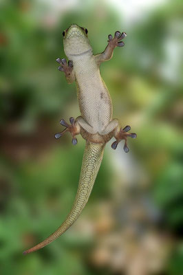 Phelsuma grandis4 - Gecko