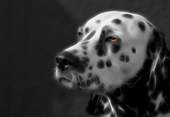 King of Dalmatiner
