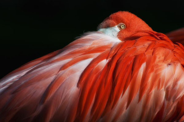 Roter Flamingo