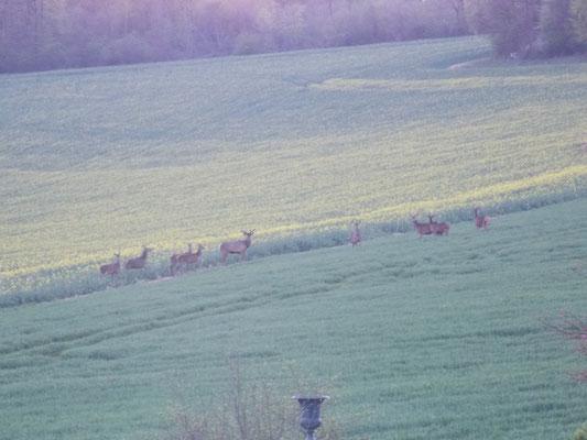 troupeau de chevreuils en Meuse