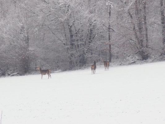 Cerfs à Morville