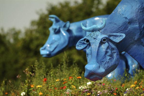Les vaches bleues de Commercy