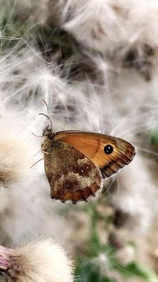 Papillon - Forêt de Retz - Aisnes