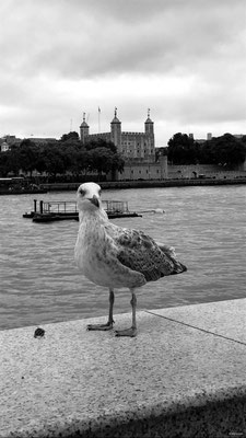 Seagull - Thames - Tower of London