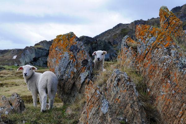 Schafe an der Barentssee