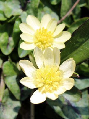 Ranunculus ficaria 'Randall's White' , Scharbockskraut