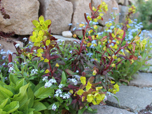 Euphorbia amygdaloides 'Purpurea' (Mandelblättrige Purpur-Wolfsmilch) versamt sich gut, ohne lästig zu werden.